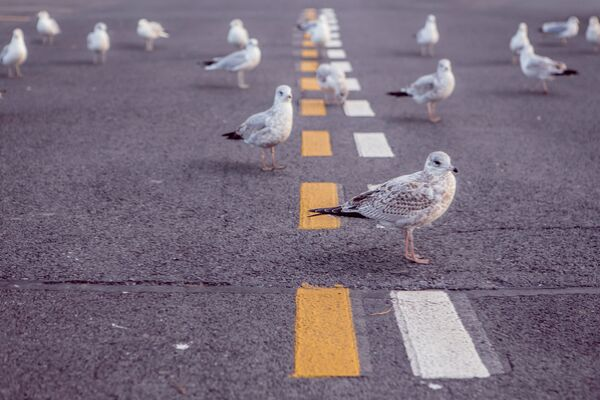 seagulls on a road